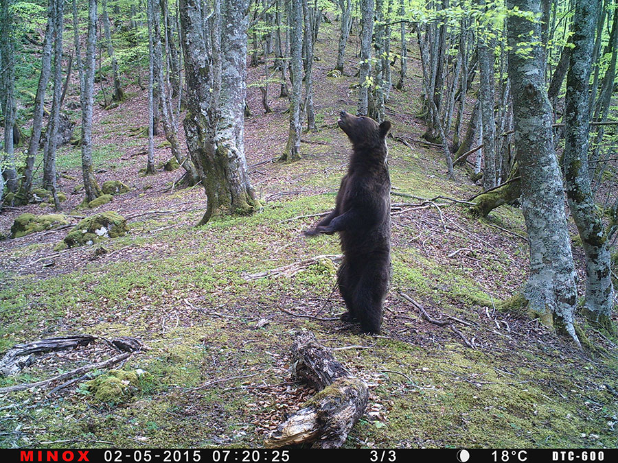 Oso Pardo En Las Cercanías De Nuestro Bosque En Teverga